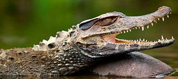 selva-cocha-caiman.jpg
